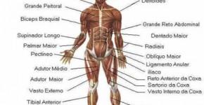 musculos do corpo humano