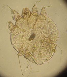 parasitose